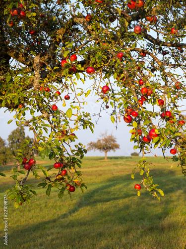 rote Mostäpfel am Baum auf einer württembergischen Streuobstwiese im Spätsommer Wallpaper Mural