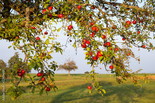 orchard in autumn - red apples on a tree