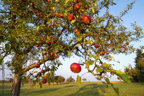 red cider apples on an aorchard