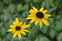 Black-eyed Susan Couple
