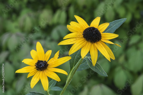 Fotografering Black-eyed Susan Couple