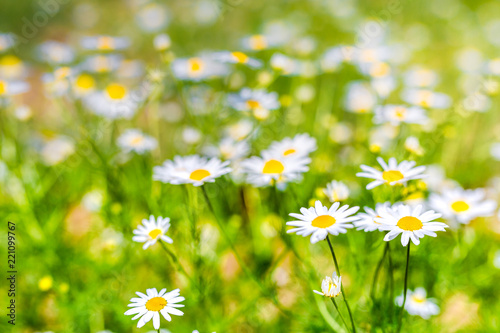Foto op Canvas Madeliefjes Nature background, meadow and flowers field. Summer daisy flowers