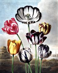 Panel Szklany Tulipany illustration of flower