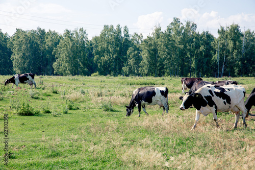 Tuinposter Koe a Herd of cows at summer green field pasture