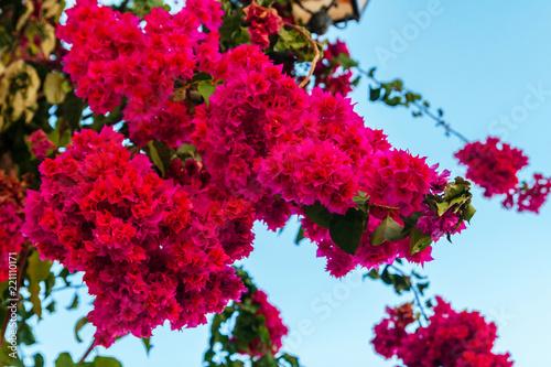Pink blooming bougainvilleas Fototapete