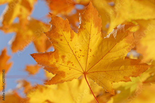 close up of dry yellow leaf on branch of maple tree at fall