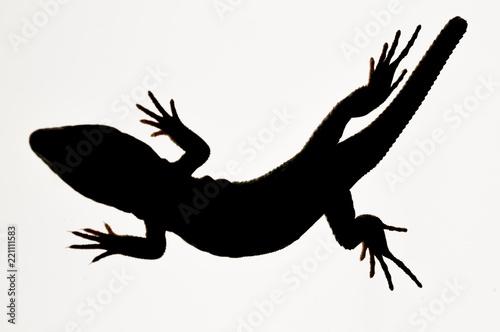 Photo  Ocelated lizard (Timon lepidus) high key, portrait