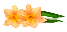 Two Day Lily With Leaf Beautiful Delicate Flower Isolated On White Background. Bright Orange Color. Floral Pattern, Object. Flat Lay, Top View