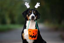 Funny Entlebucher Dog Ready Fo...