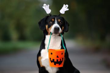 Fototapeta funny entlebucher dog ready for Halloween