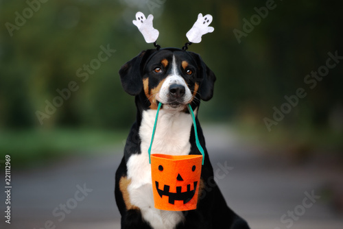 funny entlebucher dog ready for Halloween Wallpaper Mural