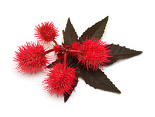 Castor Oil Plant, Fruit Ricinus Communis Isolated On White Background. Floral Pattern, Object. Flat Lay, Top View