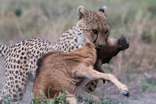 Cheetah (Acinonyx Jubatus) Killing A Blue Wildebeest Calf (Connochaetes Taurinus), Ndutu, Ngorongoro Conservation Area, Serengeti, Tanzania