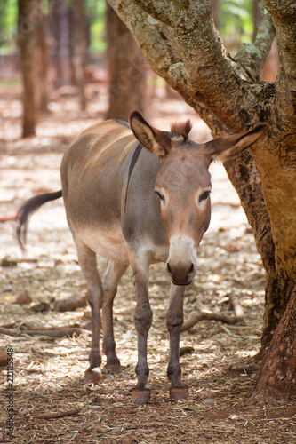 Donkey near tree on the Atherton Tableland in Queensland, Australia.