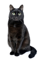 Portrait of a young black cat on white background