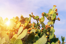 Prickly Pear Cactus With Abundant Fruits. Opuntia Ficus Indica.