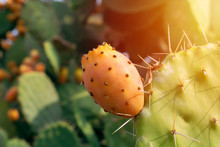 Prickly Pear Cactus With Abundant Fruits. Opuntia Ficus-indica Closeup