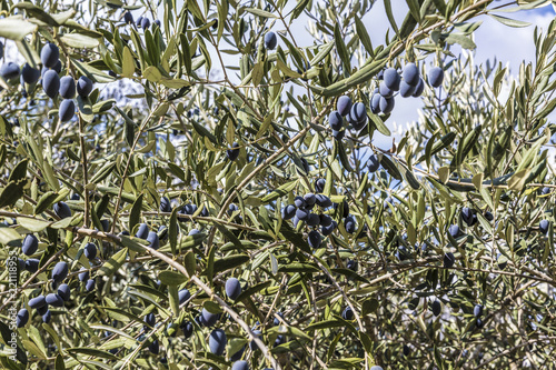 Tuinposter Olijfboom branch of olive tree with ripe blue berries