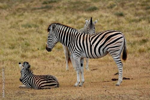 Tuinposter Zebra Zebra mit Jungem