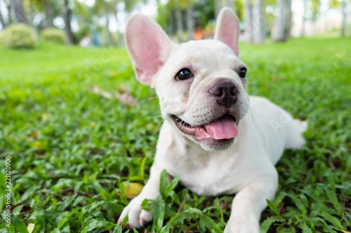 Foto auf Leinwand Französisch bulldog French Bulldog