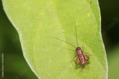 Fotografía  gryllidae insects larva