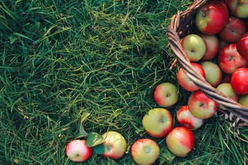 Top view of apples on grass. August, apple picking, autumn harvest concept. Orchard, crop, basket, healthy food, copy space