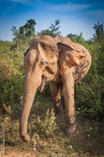 Fotobehang Olifant Sri Lankan wild elephant in safari national park