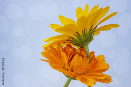 Fotografia  Flowers of marigold on a blue background. Tenderness