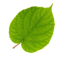 Kiwi Leaf Isolated On White Ba...