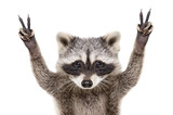Fototapeta Zwierzęta - Portrait of a funny raccoon, showing a sign peace, isolated on white background
