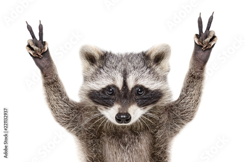Photo Portrait of a funny raccoon, showing a sign peace, isolated on white background