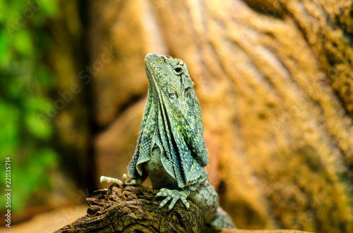 Photographie  The frilled-necked lizard to the branch.