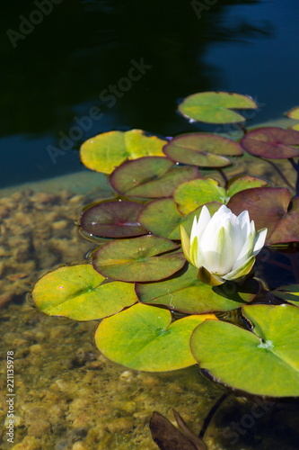 Keuken foto achterwand Waterlelies Beautiful white water lily bloom detail, plants used at natural swimming pool for filtering water without chemicals, relaxation and meditation concept