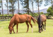 Two Brown Beautiful Horses Gra...