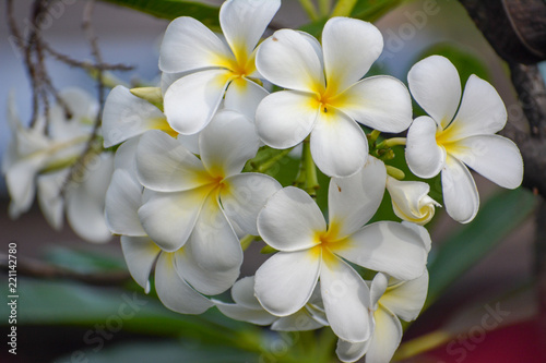 Foto op Aluminium Frangipani White and yellow plumeria blossoms on Maui, Hawaii.