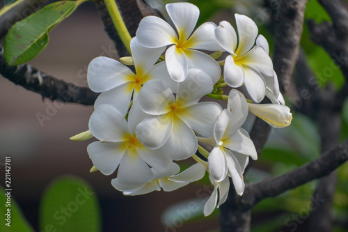 Keuken foto achterwand Frangipani White and yellow plumeria blossoms on Maui, Hawaii.