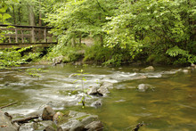 Quiet Brown Muddy Dark Tannin River Water Flowing Downstream Beneath Old Rustic Wooden Bridge And Rushing Over Mossy Stone Whitewater Rocks In Green Summer Forest