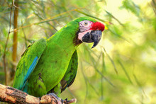 Great Green Military Macaw (Ar...