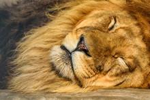 Portrait Of A Sleeping Lion Close-up