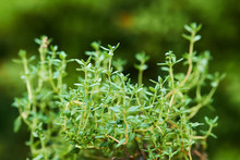 Green Fresh Thyme Plant Close Up Detail