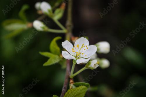 Papiers peints Narcisse Apple tree blossom