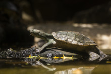 Asian Forest Tortoise On The Wood In The Water