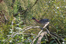 Green Heron Bird