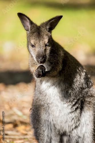 Foto op Canvas Kangoeroe Wallaby de Benett en liberté