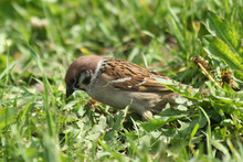 Sparrow Perched On The Ground