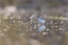 Solitary Sandpiper In Spring