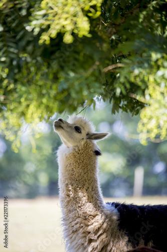 Lama se nourrissant de feuilles