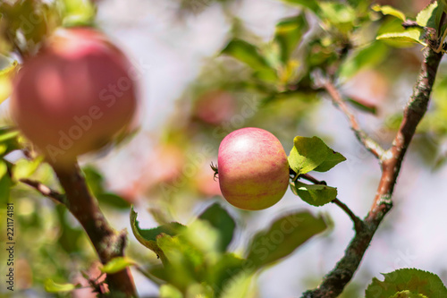 Red apples on a tree during a summer day