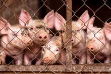 Little Pigs In Pigsty