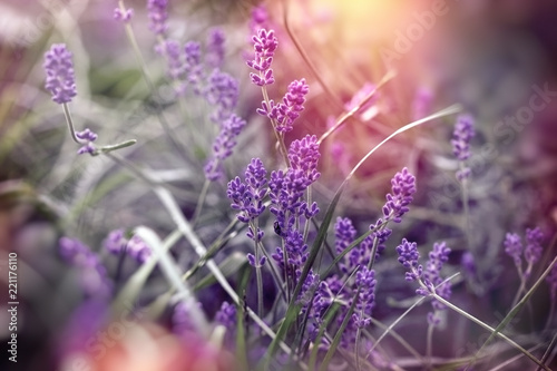 Soft focus on beautiful lavender flower, beautiful lavender in flower garden